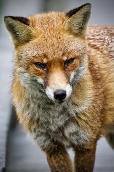 Fox by martin174