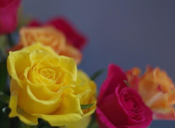 Roses...multicolours by Kako