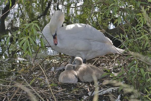 Mute Swan by johnsd