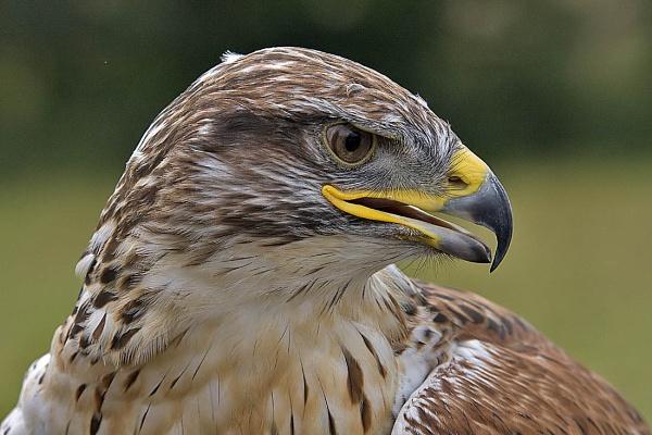 A Ferruginous Hawk by johnsd