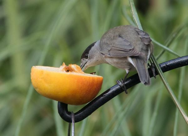 Blackcap and apple by oldgreyheron