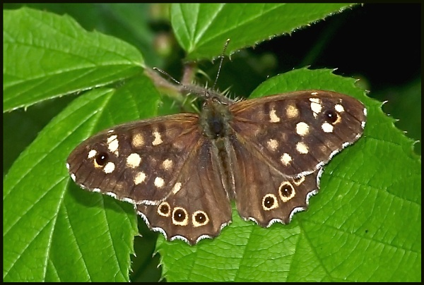 Speckled Wood Basking ! by Badgerfred
