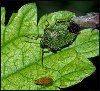 Green Shield Bug(s) !