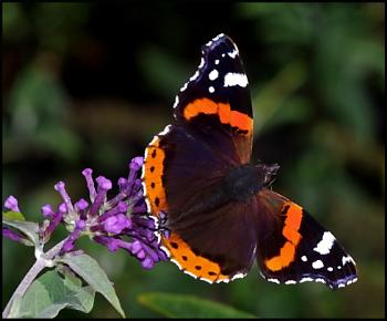 Red Admiral !