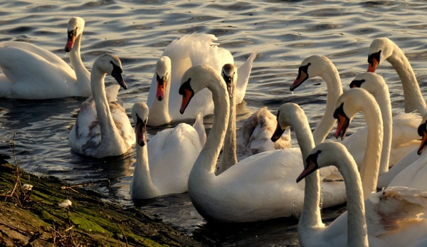 Swan Party by SUE118