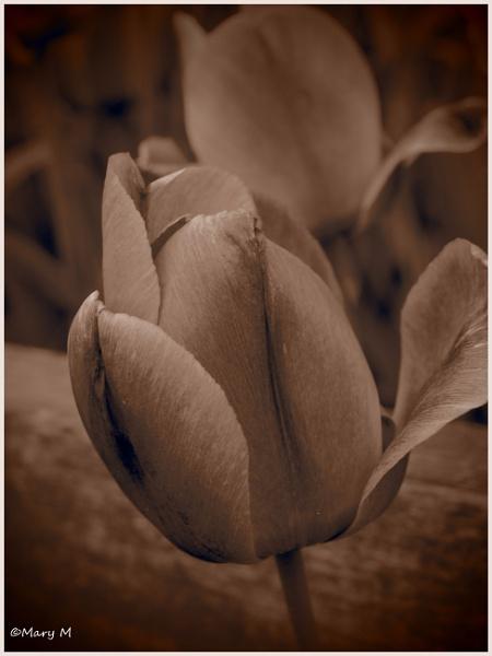 Sepia Tulip by marshfam19