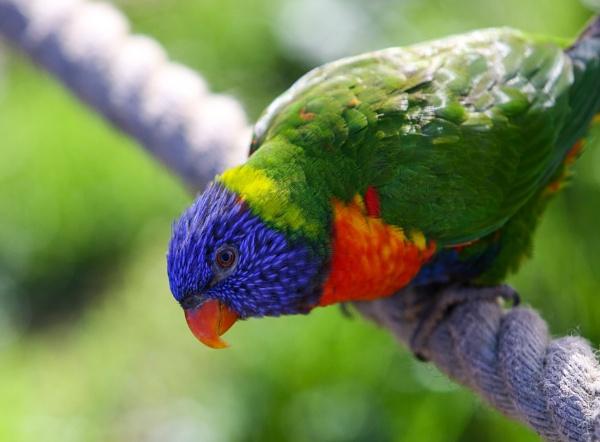 Rainbow Lorikeet (small Australian Parrot) by bobelle