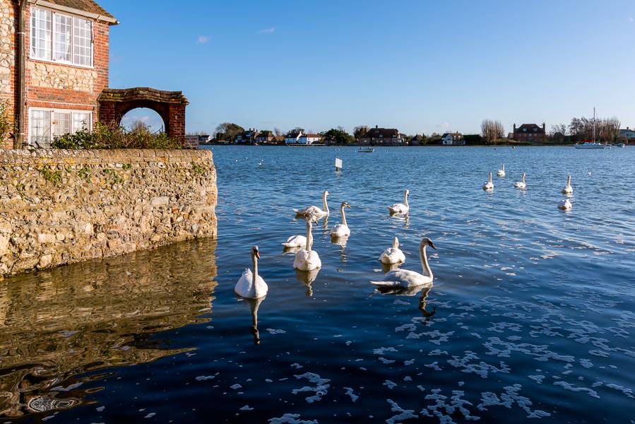 BOSHAM, WEST SUSSEX/UK - January 1 : A Gathering of Mute Swans a