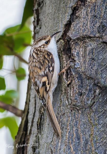treecreeper by djgaryrichardson