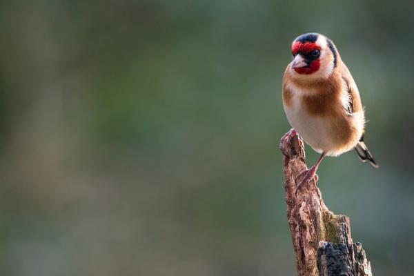 Goldfinch by bobbyl