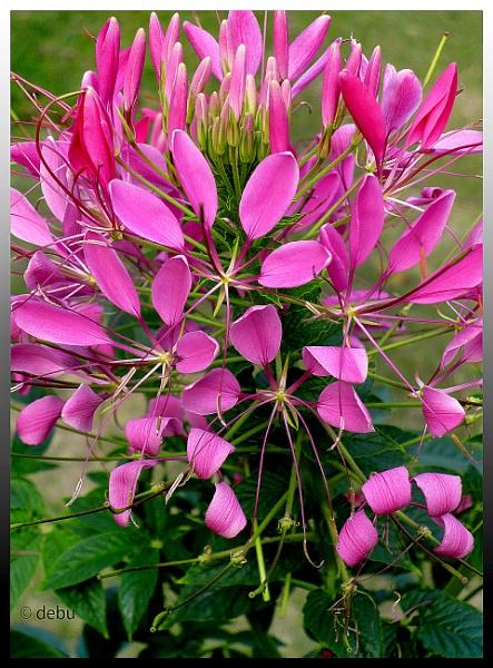Flower of Dream..3 by debu