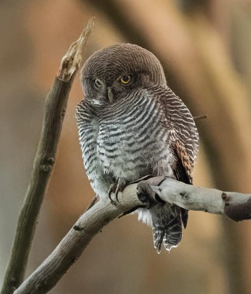 Jungle Owlet by jasonrwl