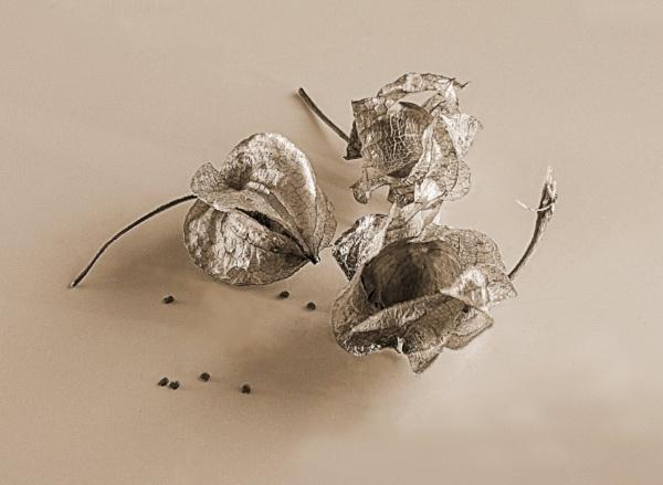 Torenia Seed Heads by Irishkate