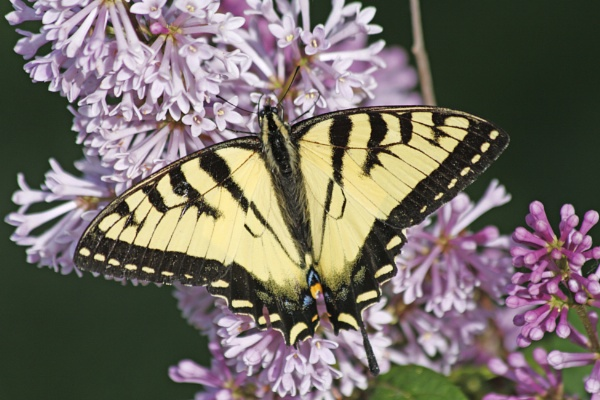 An Eastern Tiger Swallowtail  ( Papilio glaucus ) Indigenous to North America by gconant