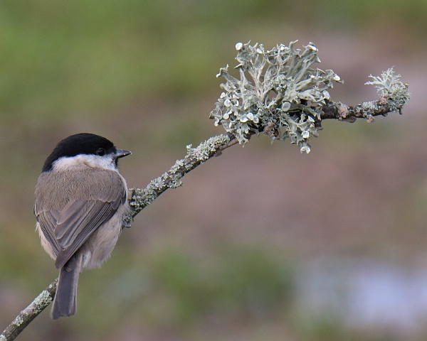 Marsh Tit and lichen by Holmewood