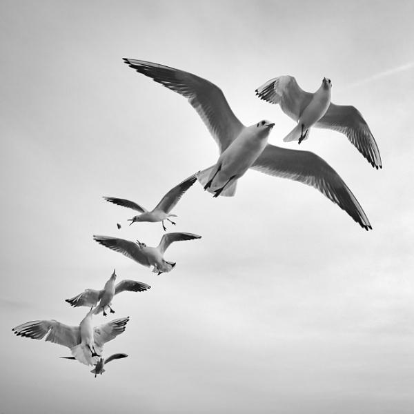 Black-headed gulls by trailguru