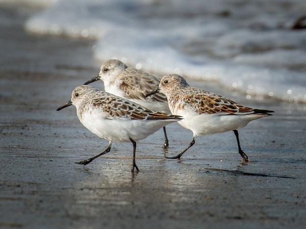 Sanderlings by Stevetheroofer