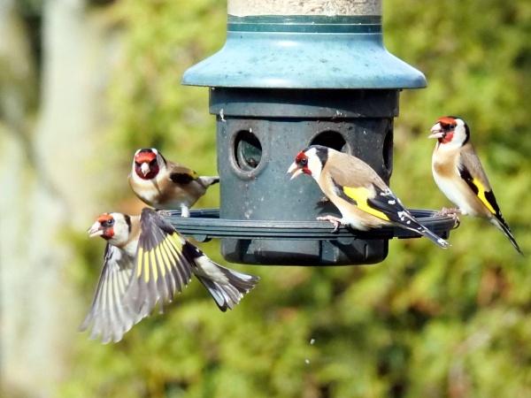 Goldfinch squabble by DerekHollis