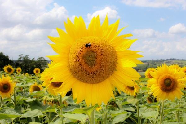 Sunshine and sunflowers by LozzaSherri