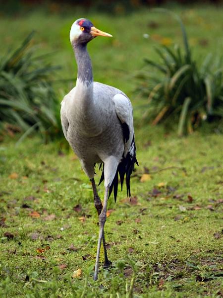 Crane---Grus grus by bobpaige1