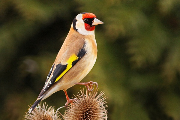 Goldfinch on Teasels by bobpaige1