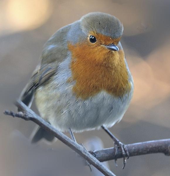 Robin by robertsnikon