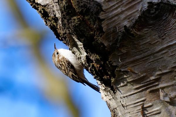 Tree Creeper (again) by simmo73