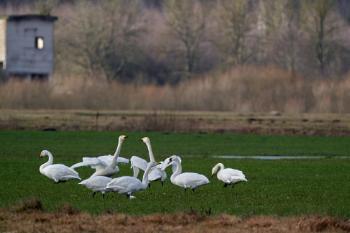 Fighting Whooper swans