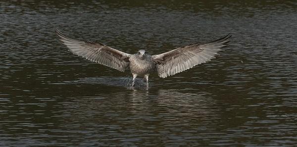 Herring Gull Take off by royd63uk