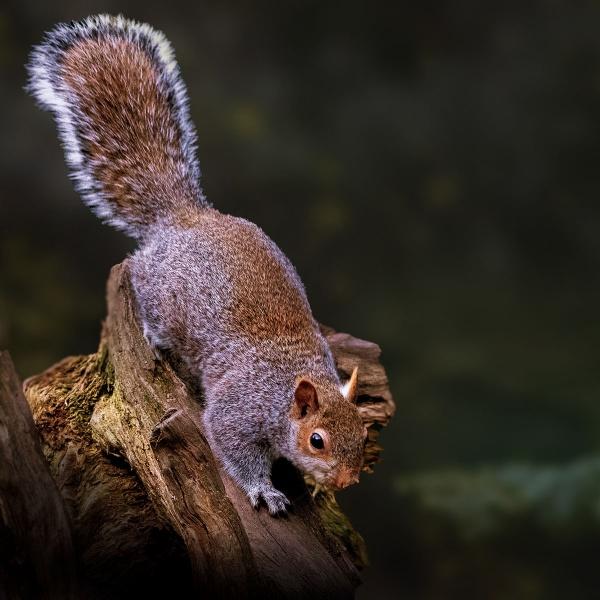 Grey Squirrel by wobby