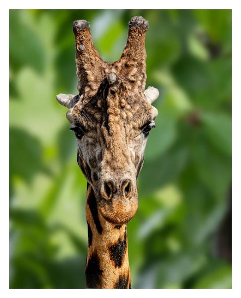 Giraffe Portrait by wobby