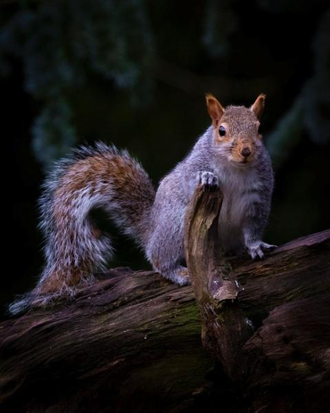 Squiurrel on dead tree by wobby