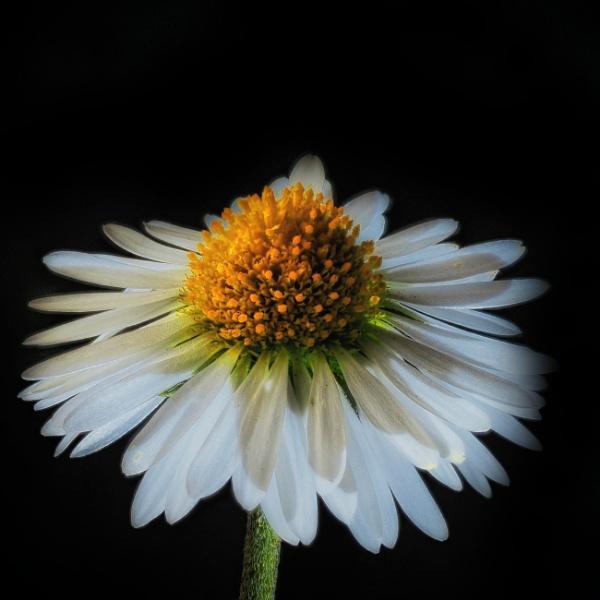 Soft Daisy by Shamley