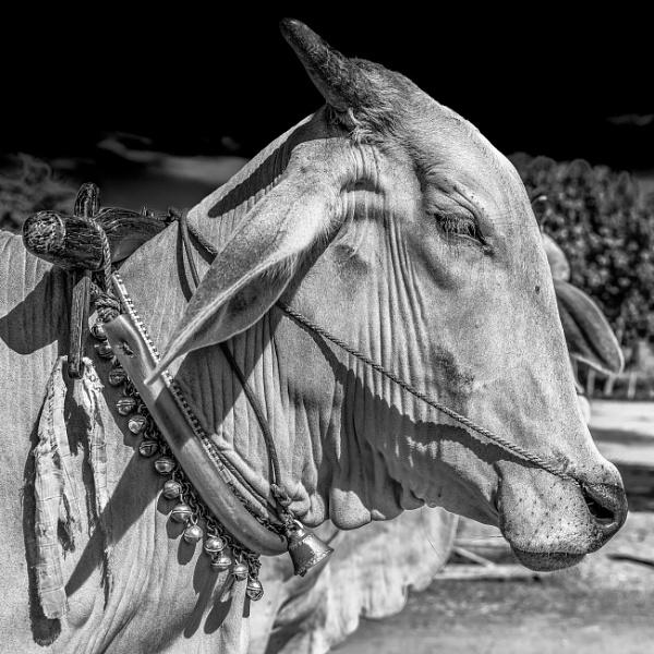 Oxen by bobbyl