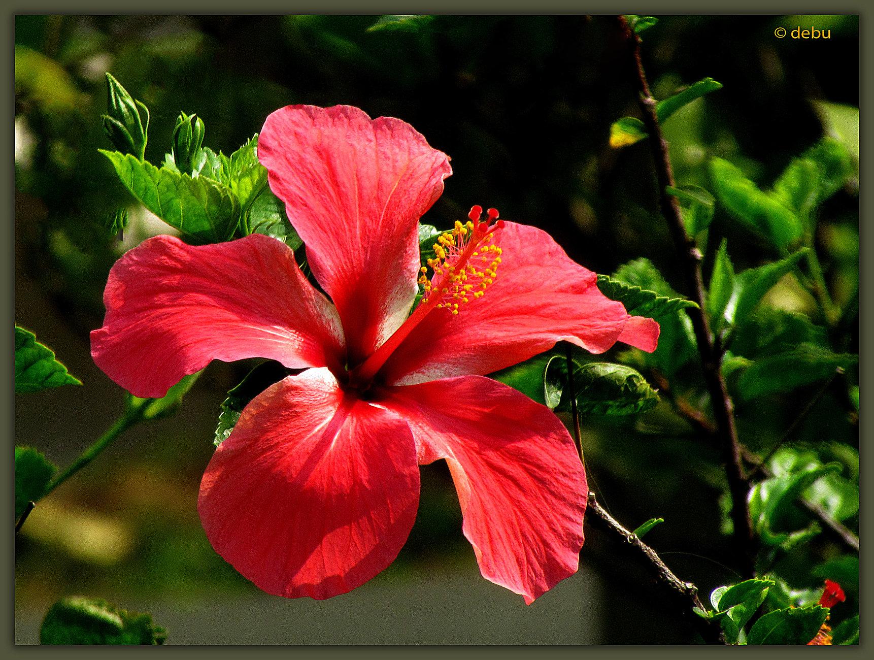 Red Hibiscus..2