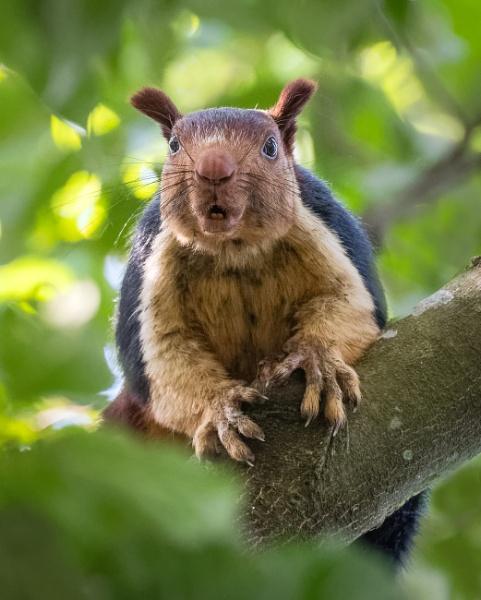 Malabar Giant Squirrel by jasonrwl