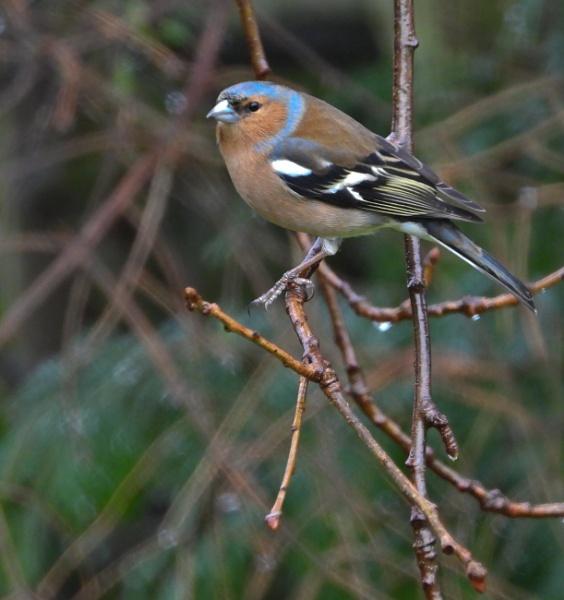 Male Chaffinch by Drighlynne