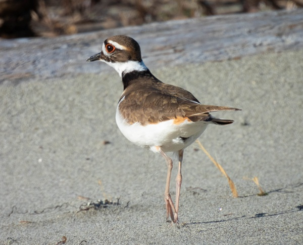 Killdeer on the beach in Puget Sound by StuartDavie