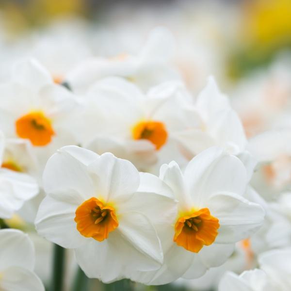 More Daffodils......