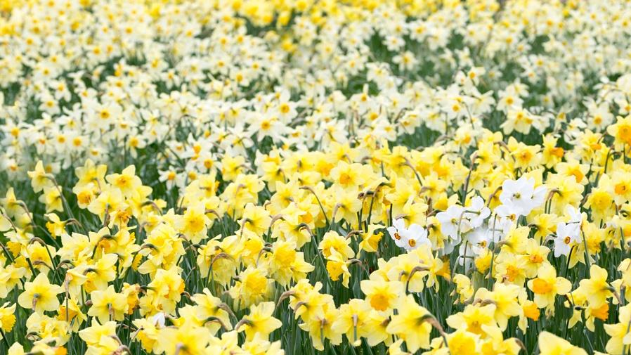 Lots of Daffodils....