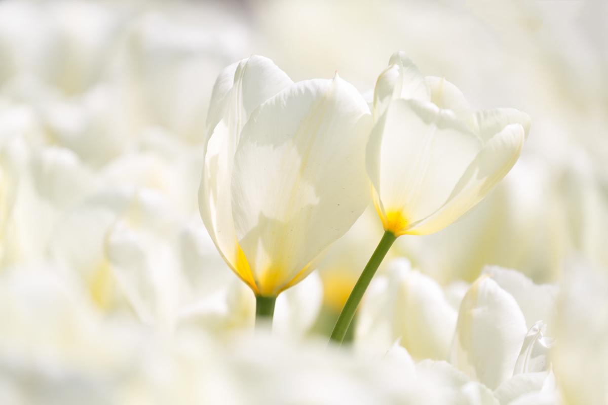 Tulips close up....