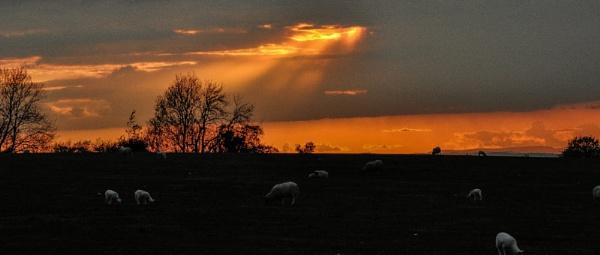 Sunbeams Over Sheep by woodini254