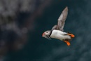Puffin by SteveMackay
