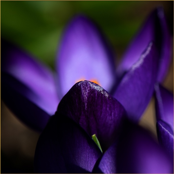 Crocus by taggart