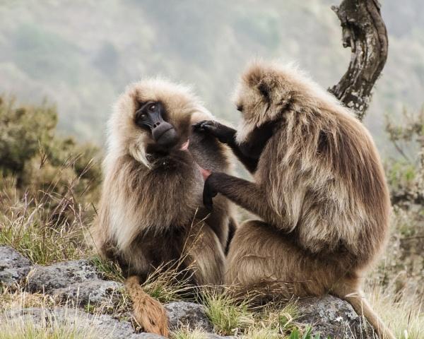 Gelada Baboons (3) by barryyoungnz