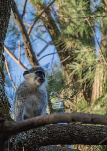 Vervent Monkey - N. Ethiopia by barryyoungnz