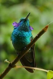 Green Violet Ear humming bird