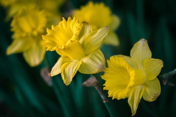 Daffodils by chowe328