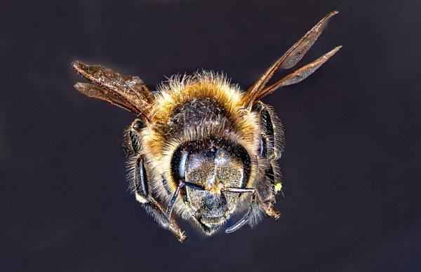 Worker bee by lagomorphhunter