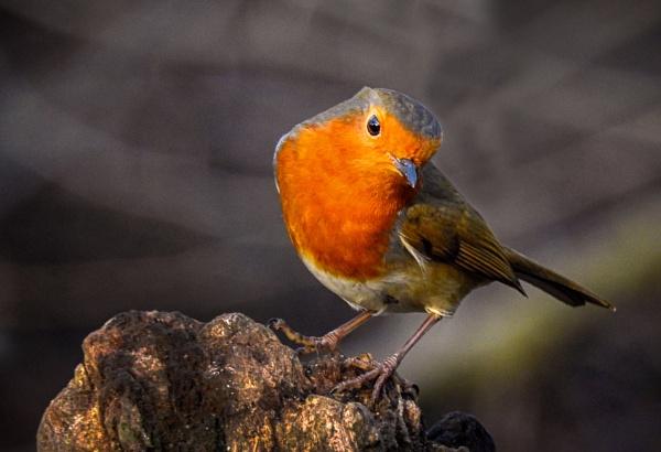 Robin on tree stump by lagomorphhunter